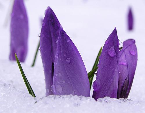 prolecni-cvet